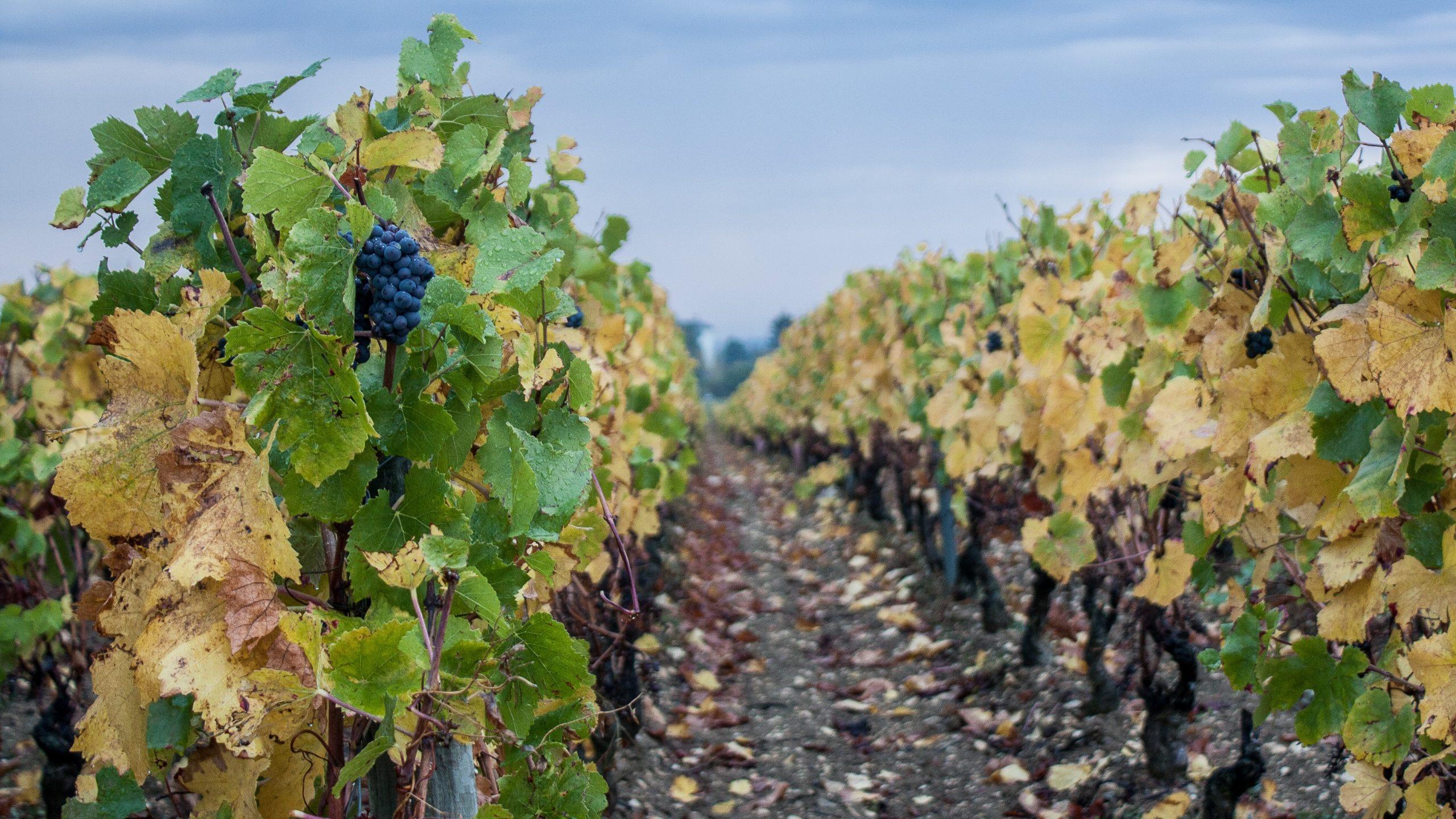 Franse druivenoogst verwoest door nachtvorst
